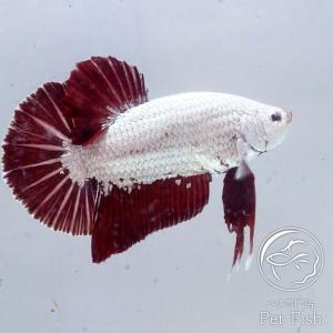 熱帯魚 ベタ 生体 ペア プラガット プラチナレッドドラゴン