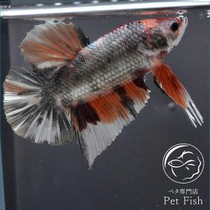 ベタ 熱帯魚 生体 プラカット ジャイアント カッパーニモ オス|petfish