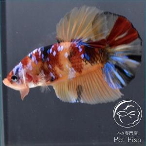 ベタ 熱帯魚 生体 プラカット ジャイアント キャンディー オス|petfish