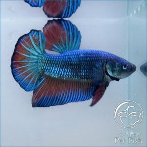 ベタ 熱帯魚 生体 オス メス ジャイアントプラガット マスタード ペア