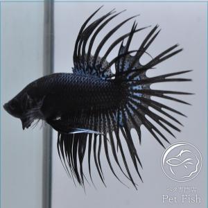 ベタ 熱帯魚 生体 クラウンテール ブラックオーキッド オス petfish