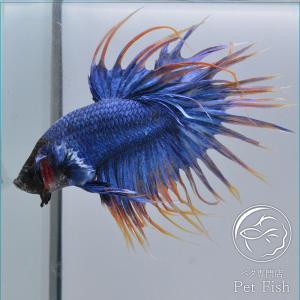 ベタ 熱帯魚 生体 クラウンテール マスコット  オス petfish