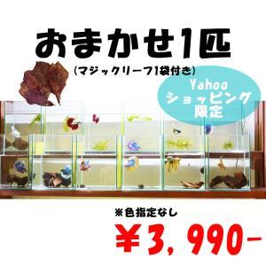ベタ 熱帯魚 生体 オス 2匹 お得な ベタ オス お任せセット|petfish