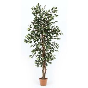 観葉植物 フィカス 690 B GR 52663 不二貿易 (D)