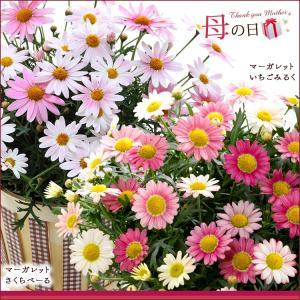 母の日 2016 ギフト プレゼント 花  7種から選べる人気フラワー 鉢植え(5月9日以降のお届け)|petkan|03