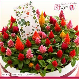 母の日 2016 ギフト プレゼント 花  7種から選べる人気フラワー 鉢植え(5月9日以降のお届け)|petkan|05