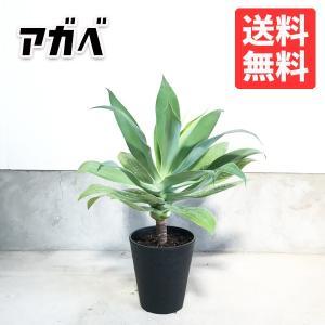 アガベ アテナータ 鉢植え 観葉植物 送料無料 リュウゼツラン|pg869