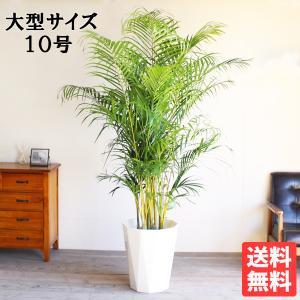 送料無料 アレカヤシ ヤシの木 大サイズ 大鉢 10号鉢 観葉植物 ヤシ 大型|pg869