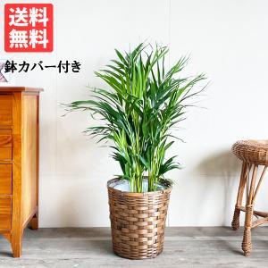 アレカヤシ 鉢カバー付 観葉植物 送料無料 ヤシの木 中〜大型サイズ|pg869
