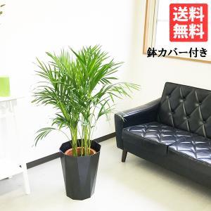 アレカヤシ ヤシの木 8号 スタイリッシュな黒色鉢カバー付 観葉植物 送料無料|pg869