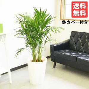 アレカヤシ ヤシの木 8号 スタイリッシュな白色鉢カバー付 観葉植物 送料無料|pg869