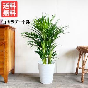 アレカヤシ ヤシの木 観葉植物 ホワイトセラアート鉢 送料無料|pg869