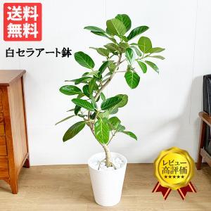 フィカス ベンガレンシス ベンガルゴムの木  観葉植物 ホワイトセラアート鉢 送料無料 即日出荷の画像