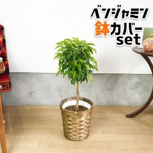 ベンジャミン ゴムの木 鉢カバー付 観葉植物|pg869