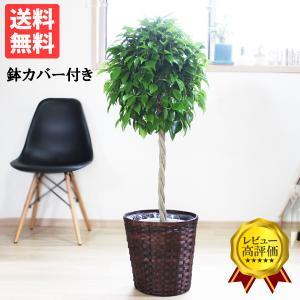 ベンジャミン 8号鉢 鉢カバー付 観葉植物 送料無料 ゴムの木 フィカス ベンジャミナ 大型|pg869