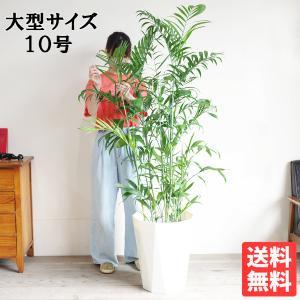 送料無料 チャメドレア セフリジー ヤシ ヤシの木 大鉢 10号鉢 観葉植物 大型|pg869