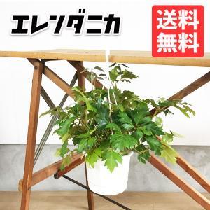 シッサス エレンダニカ 吊り鉢 観葉植物 つるが長く伸びる植物|pg869