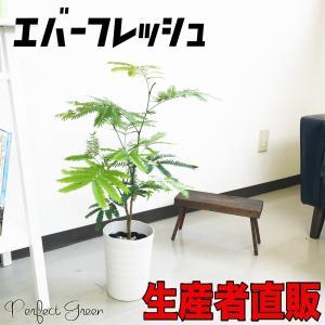 エバーフレッシュ ネムノキ 観葉植物 6号鉢 即日出荷 鉢植え|pg869