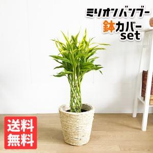 ミリオンバンブー ナチュラル鉢カバー付 観葉植物 ドラセナ 幸運の竹 中型|pg869