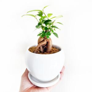 ガジュマル 丸型陶器鉢植え 卓上サイズ 観葉植物 ガジュマルの木 多幸の木|pg869