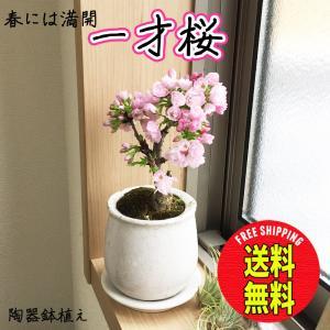 桜 一才桜 旭山 陶器鉢植え 盆栽 花芽付き 送...の商品画像