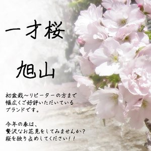 桜 一才桜 旭山 陶器鉢植え 盆栽 花芽付き ...の詳細画像1