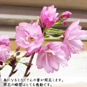 桜 一才桜 旭山 陶器鉢植え 盆栽 花芽付き ...の詳細画像2