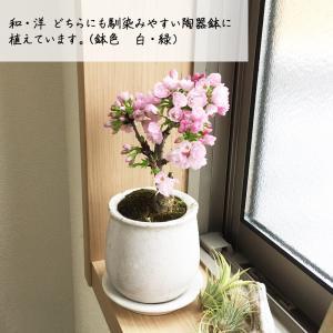 桜 一才桜 旭山 陶器鉢植え 盆栽 花芽付き ...の詳細画像3