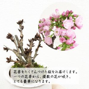 桜 一才桜 旭山 陶器鉢植え 盆栽 花芽付き ...の詳細画像4