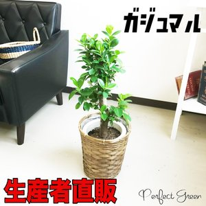 ガジュマル 多幸の木 観葉植物 鉢カバー付 幸福の木 ガジュマルの木 送料無料 pg869