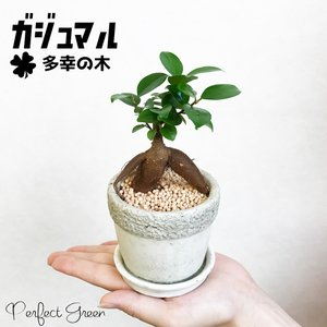 ガジュマル ガジュマルの木 アンティーク調の鉢植え 観葉植物 おしゃれな植木鉢植え 卓上サイズ|pg869