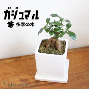 ガジュマル スクエア陶器鉢植え 卓上サイズ 観葉植物 ガジュマルの木 多幸の木|pg869