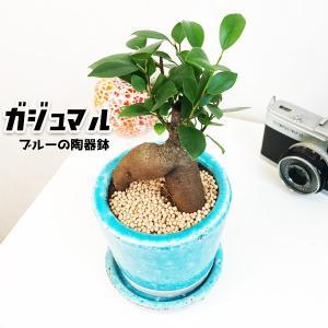 ガジュマル ブルー ツートーン陶器鉢植え 卓上サイズ 観葉植物 ガジュマルの木 多幸の木 ガジュマロ|pg869