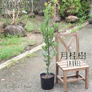 月桂樹 ローリエ ローレル 苗木 鉢植え ガーデン 庭木|pg869
