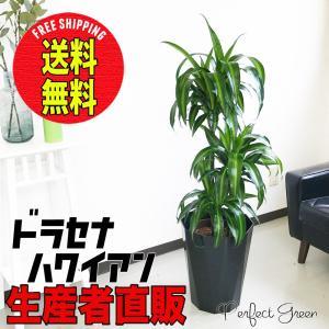 ドラセナ ハワイアン サンシャイン 8号 スタイリッシュな黒色鉢カバー 観葉植物 送料無料|pg869
