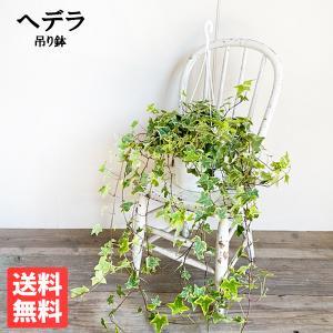 ヘデラ アイビー ヘリックス 吊り鉢 観葉植物|pg869