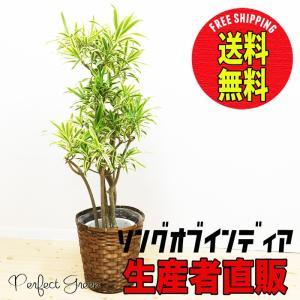 ソングオブインディア ドラセナレフレクサ 鉢カバー付 観葉植物 送料無料 ドラセナ|pg869