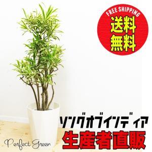 ソングオブインディア ドラセナレフレクサ スタイリッシュな白色鉢カバー 観葉植物 送料無料 ドラセナ|pg869
