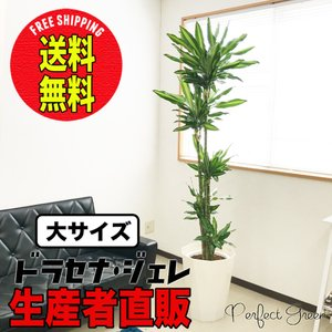 送料無料 ドラセナ ジェレ 大サイズ 大鉢 10号鉢 観葉植物 大型|pg869