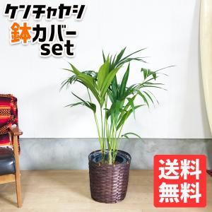 ケンチャヤシ 鉢カバー付 観葉植物 送料無料 中型〜大型|pg869