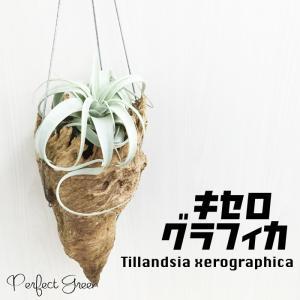 キセログラフィカ チランジア エアプランツ Tillandsia xerographica エアープランツ|pg869