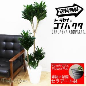 ドラセナ コンパクタ  観葉植物 ホワイトセラアート鉢 送料無料 pg869
