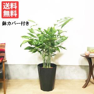 高性チャメドレア スタイリッシュな黒色鉢カバー付 観葉植物 送料無料 ヤシの木 pg869