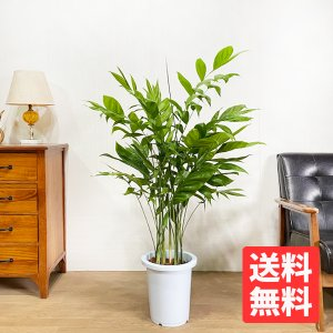 高性チャメドレア 8号 観葉植物 送料無料  丈夫で育てやすい ヤシの木|pg869