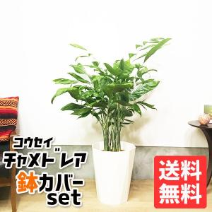 高性チャメドレア スタイリッシュな白色鉢カバー付 観葉植物 送料無料 ヤシの木|pg869