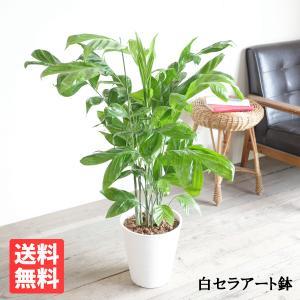 高性チャメドレア ヤシの木 観葉植物 ホワイトセラアート鉢 送料無料|pg869