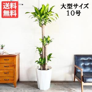 送料無料 幸福の木 マッサン ドラセナ 大サイズ 大鉢 10号鉢 観葉植物 大型|pg869