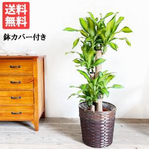 幸福の木 鉢カバー付 観葉植物 送料無料 マッサン ドラセナ 中型〜大型|pg869