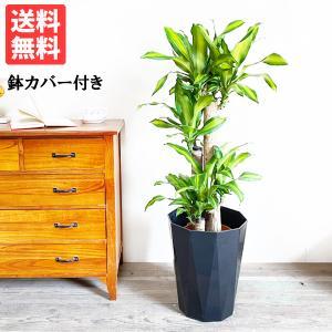 幸福の木 8号 スタイリッシュな黒色鉢カバー マッサン 観葉植物 送料無料|pg869