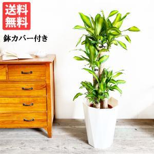 幸福の木 8号 スタイリッシュな白色鉢カバー マッサン 観葉植物 送料無料|pg869